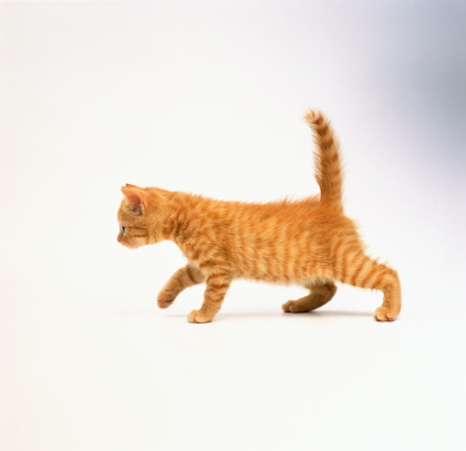Purebred Cat「Domestic kitten against white background」:スマホ壁紙(12)