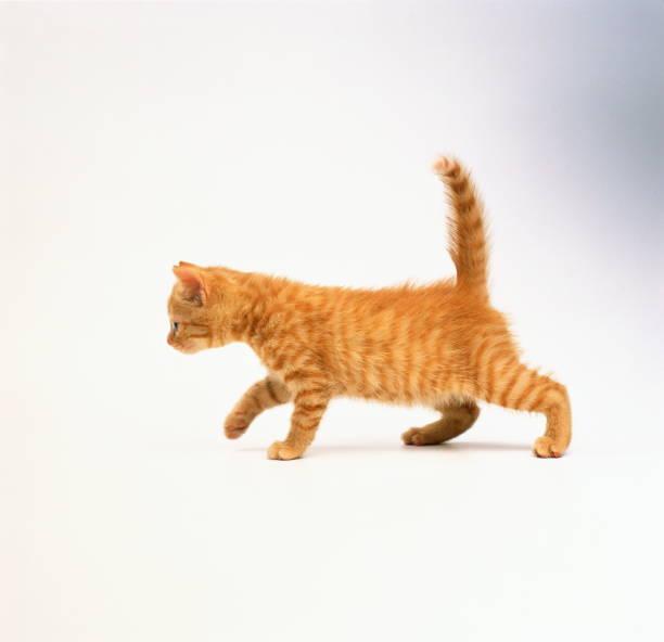 Domestic kitten against white background:スマホ壁紙(壁紙.com)