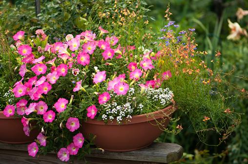 ペチュニア「Vivid Pink Petunia Flowers Container Gardening」:スマホ壁紙(9)