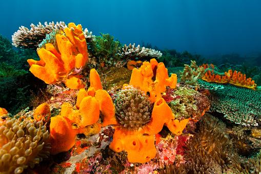 Ecosystem「Beautyful Seascape, Orange Sponges and Bubble Tip Anemones, Pantar Strait, Indonesia」:スマホ壁紙(2)