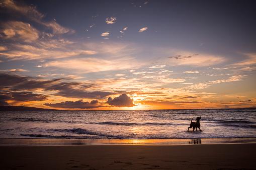 オアフ島「マウイ島のビーチの上に犬。」:スマホ壁紙(18)