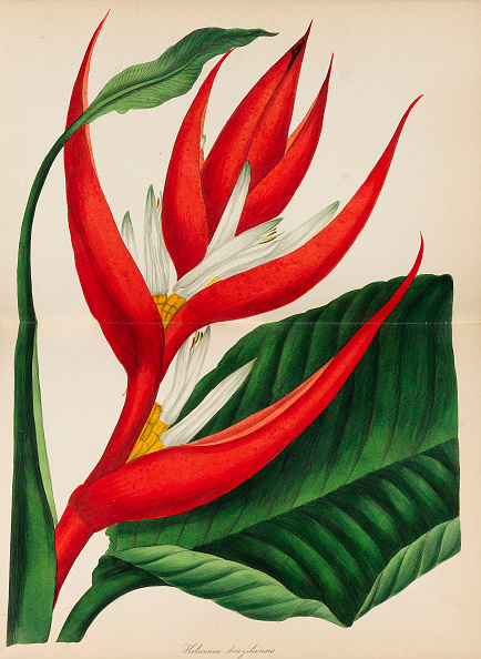 Lithograph「Paxtons Magazine Of Botany,」:写真・画像(4)[壁紙.com]