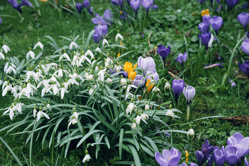 Crocus「Snowdrops (Galanthus nivalis) and crocuses (Crocus vernus)」:スマホ壁紙(7)