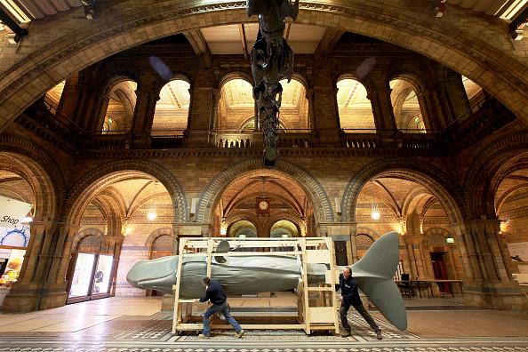 Natural History Museum - London「Seven Metre Long Sperm Whale Arrives For Natural History Museum Exhibition」:写真・画像(19)[壁紙.com]