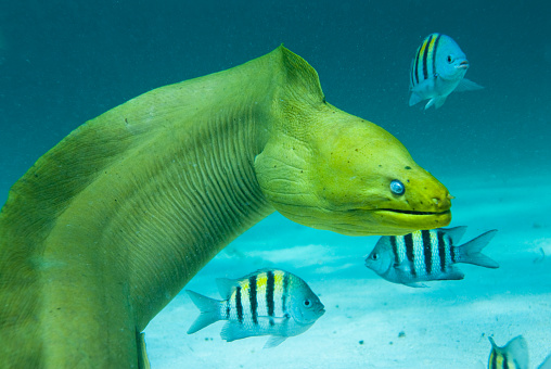 Animals Hunting「Green Moray Saltwater Eel with Other Fish」:スマホ壁紙(19)
