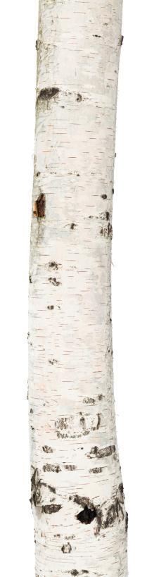 Log「A birch trunk on a white background」:スマホ壁紙(5)