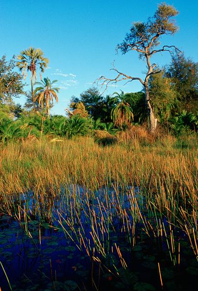 Grass「Okavango Delta, Botswana, Africa」:写真・画像(0)[壁紙.com]