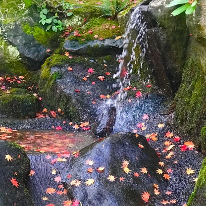 Japanese Maple「Waterfall and fallen maple leaves, Japanese Garden, Seattle」:スマホ壁紙(13)