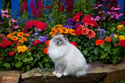 Purebred Cat「Blue Picket Fence Our Rag Doll Cat Blue」:スマホ壁紙(9)