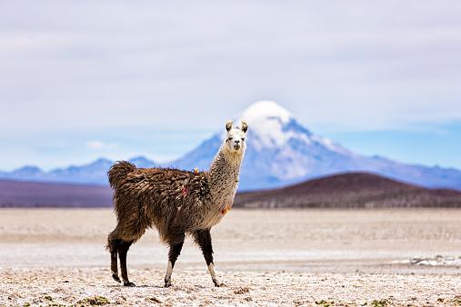 アタカマ「Chile, Lama, Lama glama, standing in the Atacama Desert」:スマホ壁紙(19)