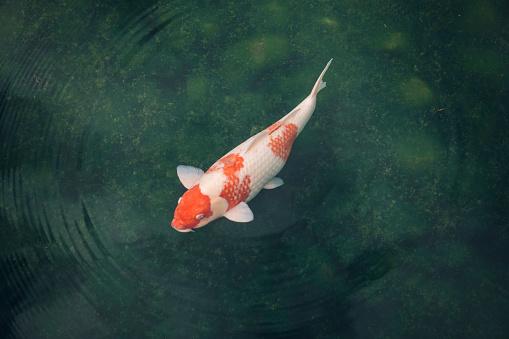 Carp「Japan, Koi carp in a pond」:スマホ壁紙(4)
