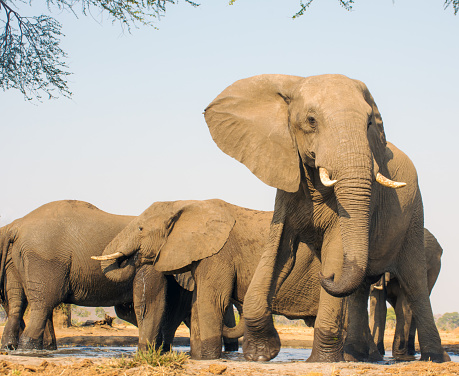 象「Elephants at a water hole, South Africa」:スマホ壁紙(12)