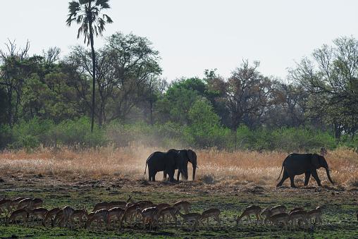 象「Elephants and a herd of Impalas, Moremi Game Reserve, Okavango, Botswana」:スマホ壁紙(8)
