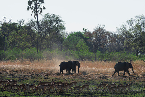 Elephant「Elephants and a herd of Impalas, Moremi Game Reserve, Okavango, Botswana」:スマホ壁紙(15)