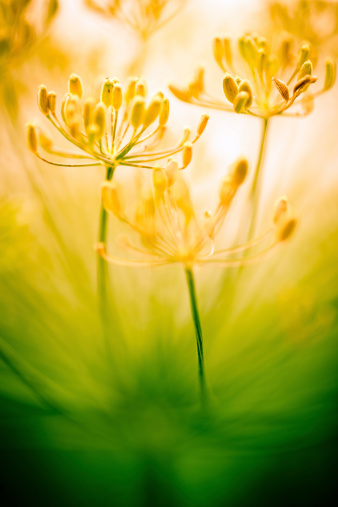 花畑「花のフィールド」:スマホ壁紙(13)