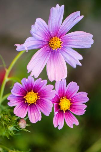 コスモス「Mexican aster flowers」:スマホ壁紙(8)