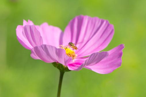 コスモス「Mexican aster, Cosmea, with hoverfly, Syrphidae」:スマホ壁紙(1)