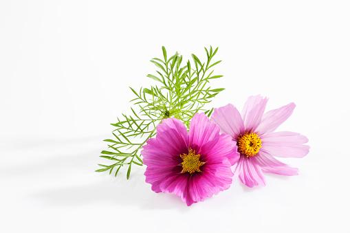 コスモス「Mexican aster, Cosmos bipinnatus, blossoms」:スマホ壁紙(13)