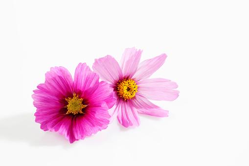 コスモス「Mexican aster, Cosmos bipinnatus, blossoms」:スマホ壁紙(18)