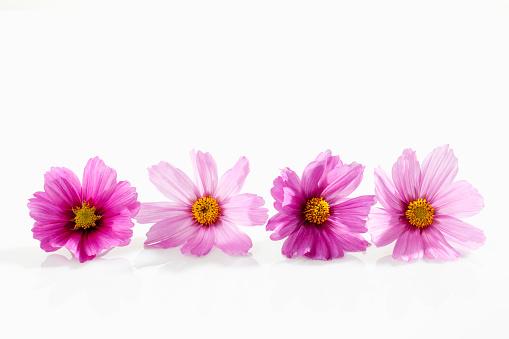 コスモス「Mexican aster, Cosmos bipinnatus, blossoms」:スマホ壁紙(17)