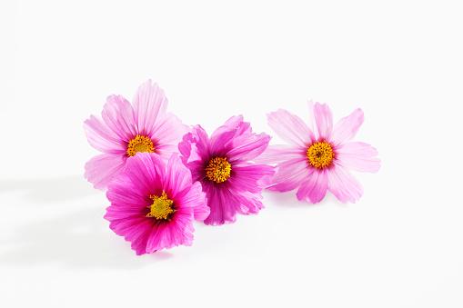 コスモス「Mexican aster, Cosmos bipinnatus, blossoms」:スマホ壁紙(14)