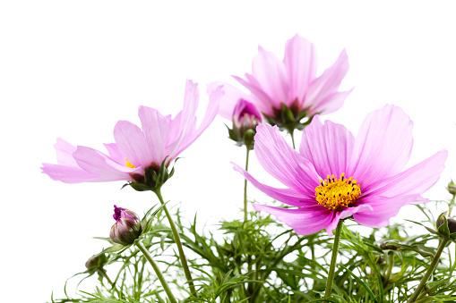 コスモス「Mexican aster, Cosmos bipinnatus, blossoms」:スマホ壁紙(15)