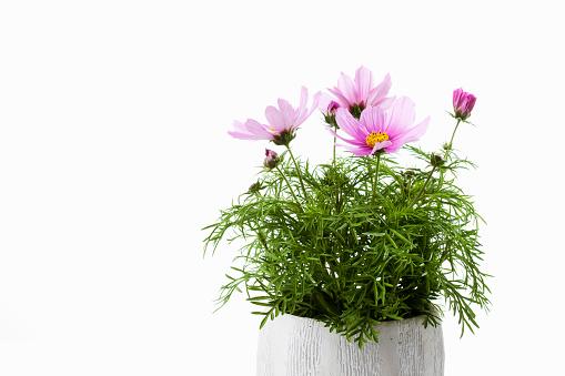 コスモス「Mexican aster, Cosmos bipinnatus, flowerpot」:スマホ壁紙(2)