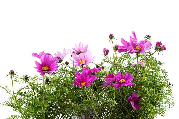Mexican aster, Cosmos bipinnatus, flowerpot:スマホ壁紙(壁紙.com)