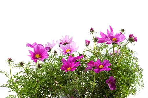 コスモス「Mexican aster, Cosmos bipinnatus, flowerpot」:スマホ壁紙(6)