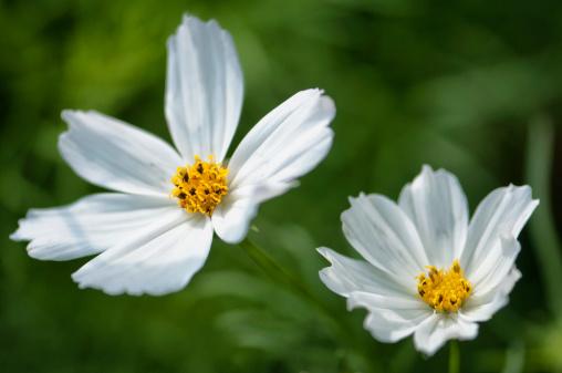 コスモス「Mexican Aster Flowers. Cosmos Daisy Flower Duo」:スマホ壁紙(14)