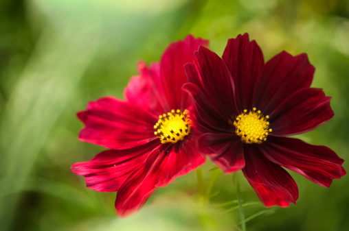 コスモス「Mexican Aster Flowers. Cosmos Daisy Flower Duo」:スマホ壁紙(19)