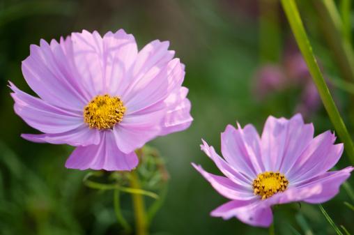 コスモス「Mexican Aster Flowers. Cosmos Daisy Flower Duo」:スマホ壁紙(17)