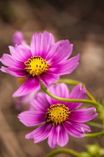 コスモス「Mexican Aster Flowers. Cosmos Daisy Flower Duo」:スマホ壁紙(18)