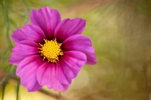 コスモス「Mexican Aster Flowers. Cosmos Daisy.」:スマホ壁紙(15)
