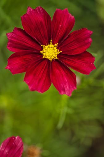 コスモス「Mexican Aster Flowers. Cosmos Daisy.」:スマホ壁紙(17)