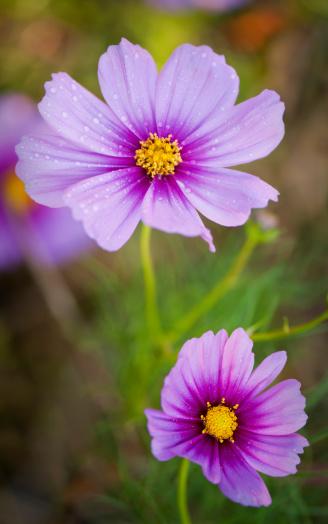 コスモス「Mexican Aster Flowers. Cosmos Daisy.」:スマホ壁紙(16)