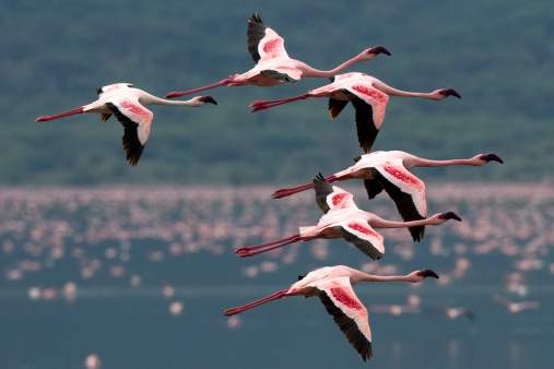 Lake Bogoria National Park「Flamingo flight」:スマホ壁紙(6)