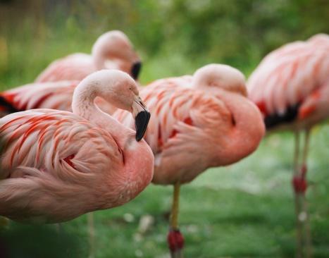 Bolivian Andes「Flamingo flock」:スマホ壁紙(0)