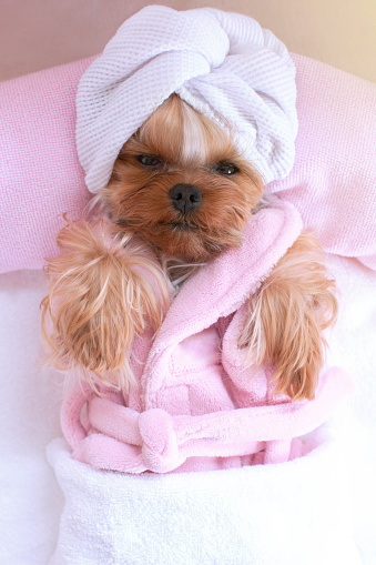 Clothing「Yorkshire terrier lying down relaxing at the pet grooming salon」:スマホ壁紙(19)