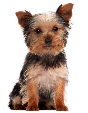 一匹「Yorkshire Terrier puppy (4 months old)」:スマホ壁紙(7)