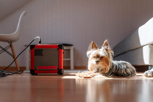 Bass Instrument「Yorkshire Terrier lying by amplifier on hardwood floor at home」:スマホ壁紙(12)