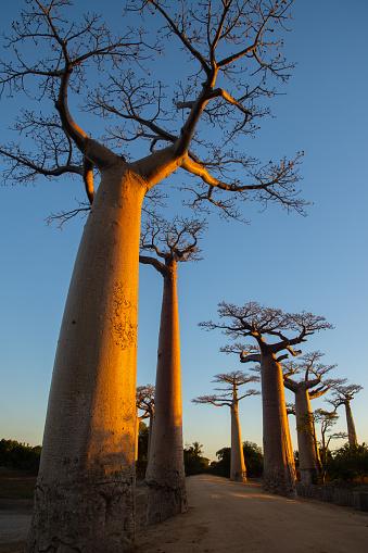 Uncultivated「Avenue de Baobab, Madagascar」:スマホ壁紙(16)