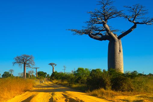 Avenue「Avenue de Baobab, Madagascar」:スマホ壁紙(11)