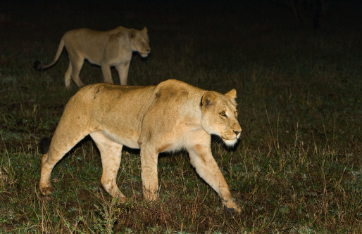 Animals Hunting「Lions walking at night, Greater Kruger National Park, South Africa 」:スマホ壁紙(12)