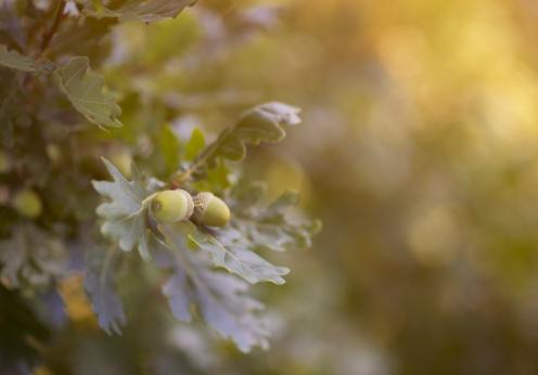 どんぐり セレクティブフォーカス「Acorns on oak tree.」:スマホ壁紙(7)