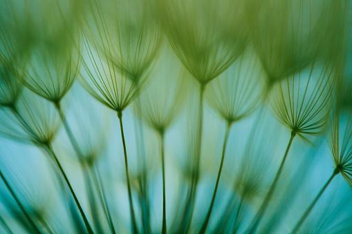たんぽぽ「マクロタンポポの種子」:スマホ壁紙(7)