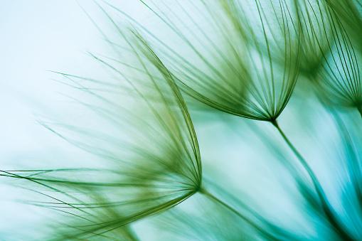 たんぽぽ「マクロタンポポの種子」:スマホ壁紙(17)