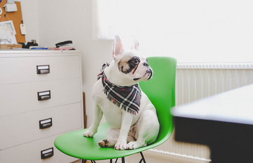 Small Office「Office dog. A French Bulldog sitting on chair in office.」:スマホ壁紙(10)
