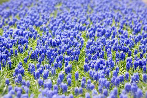 Keukenhof Gardens「A bed of blue common hyacinths」:スマホ壁紙(19)