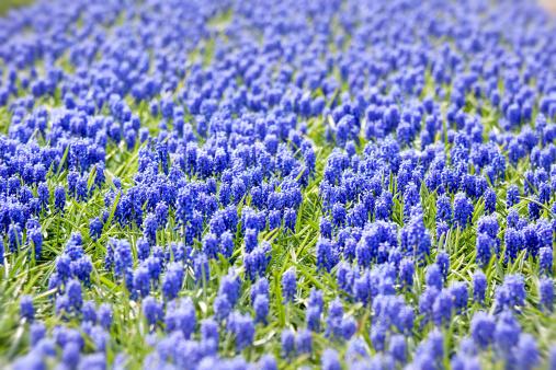 Keukenhof Gardens「A bed of blue common hyacinths」:スマホ壁紙(17)